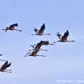 dossier-grues-petit-groupe